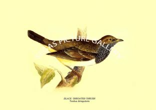 Black- Throated Thrush - Turdus Atrogularis